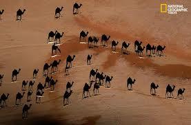 camels shadows